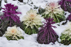 Ornamental cabbages Royalty Free Stock Images