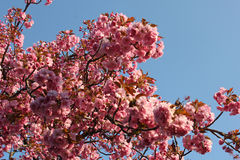Ornamental cherry in bloom Stock Photos