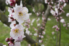 Ornamental cherry blossom in full bloom Royalty Free Stock Image