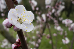 Ornamental cherry blossom in full bloom Royalty Free Stock Photo