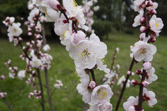 Ornamental cherry blossom in full bloom Stock Photo