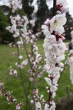 Ornamental cherry blossom in full bloom Royalty Free Stock Images