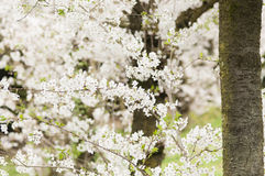 Ornamental cherry blossom in full bloom Stock Photos