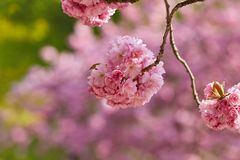 Ornamental cherry blossom in spring 2018 royalty free stock photography