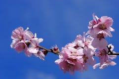 Ornamental cherry blossoms Stock Photos