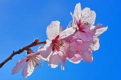 Ornamental cherry blossoms Royalty Free Stock Photo