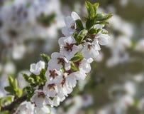 Ornamental cherry branch Royalty Free Stock Photography