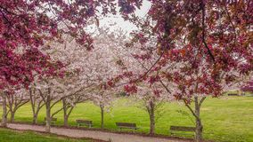 Ornamental Cherry and Crabapple Trees Blooming royalty free stock photos