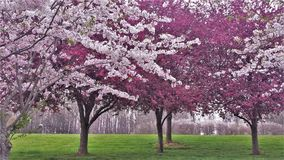 Ornamental Cherry and Crabapple Trees Blooming royalty free stock photography