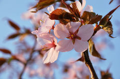 Ornamental cherry Stock Images