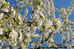 Ornamental cherry Royalty Free Stock Images