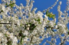 Ornamental cherry Royalty Free Stock Photography