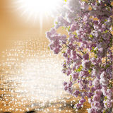 Ornamental cherry tree, backlit. This image shows a flowering cherry tree, backlit, and many reflections in the bottom water Royalty Free Stock Photo