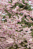 Ornamental cherry tree in Spring Stock Images
