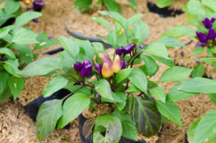 Ornamental  Chili - Bolivian Rainbow Chili Stock Image