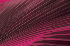 Free Ornamental Colorful Foliage, Tropical Leaf Palm Of Dak Red Color. Abstract Natural Pattern Texture, Exotic Geometric Stock Photography - 123338752