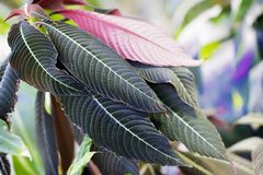 Ornamental colorful foliage, tropical plant, bicolor, with red and green leaves, sunny day, exotic botanical backdrop stock photography