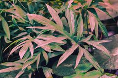 Ornamental colorful foliage, tropical plant with pink leaves. Natural pattern, exotic botanical background royalty free stock image