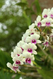 Ornamental with colorful orchids in the garden. Ornamental with colorful orchids in the garden Stock Photography