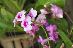 Ornamental with colorful orchids in the garden. Stock Photos