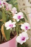 Ornamental with colorful orchids in the garden. Royalty Free Stock Photos