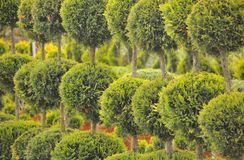 Ornamental conifer Royalty Free Stock Photography