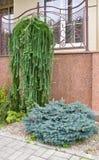 Ornamental conifers Royalty Free Stock Photo