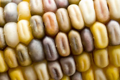 Ornamental Corn Abstract Stock Photography