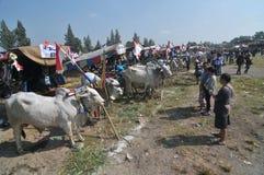 Ornamental cow contest Royalty Free Stock Photos
