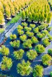 Ornamental. Cultivation of decorative plants. Firs, fir, cypress.  Greenhouse conditions. Selective focus on foreground Royalty Free Stock Photo