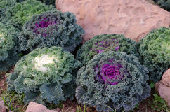 Ornamental cut kale Stock Photo