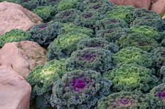 Ornamental cut kale Stock Image