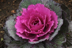 Ornamental cut kale in the garden Royalty Free Stock Images
