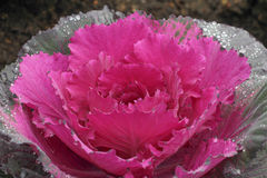 Ornamental cut kale in the garden Stock Photography