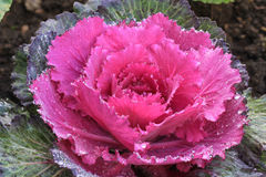Ornamental cut kale in the garden Stock Photo