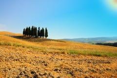 Ornamental Cypress Royalty Free Stock Image