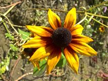 Ornamental de Helianthus images stock