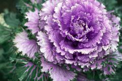 Ornamental decorative cabbage beautiful macro. Purple proton trendy color royalty free stock photo