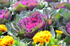 Ornamental decorative cabbage covered Stock Images