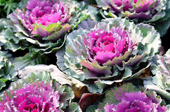 Ornamental decorative cabbage covered Royalty Free Stock Image