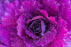 Ornamental decorative cabbage covered with a morning dew Royalty Free Stock Images