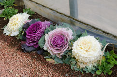 Ornamental decorative cabbage Stock Images