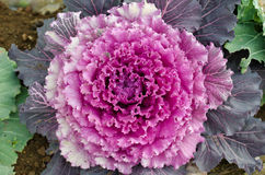 Ornamental decorative cabbage Royalty Free Stock Image