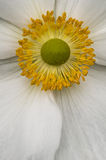 Ornamental Eglantine rose flower. Closeup in full bloom Royalty Free Stock Image