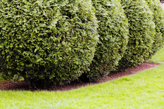Ornamental evergreen hedges Stock Photography