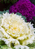 Ornamental Fall Cabbage Royalty Free Stock Photos