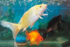 Ornamental fish Royalty Free Stock Photography