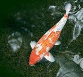 Ornamental fish in a dark green pond Stock Image