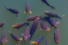 Ornamental fish Stock Images