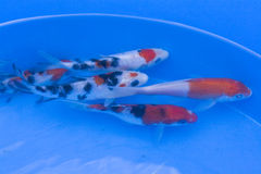 Ornamental fish pond Stock Photos